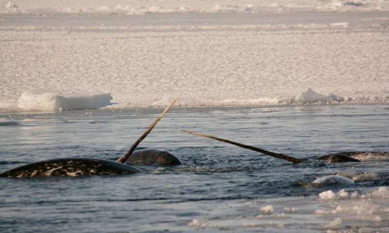 Narwhals Have Low Genetic Diversity—And They're Doing Fine