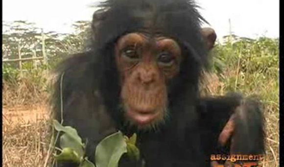 Preview thumbnail for video'African Ape Smuggling