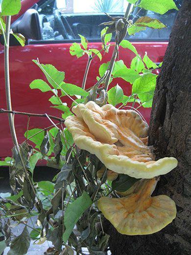 A delicious chicken-of-the-woods sprouts from a street tree in central Plovdiv.