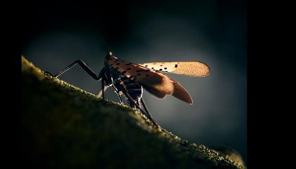 Can Scientists Stop the Plague of the Spotted Lanternfly?