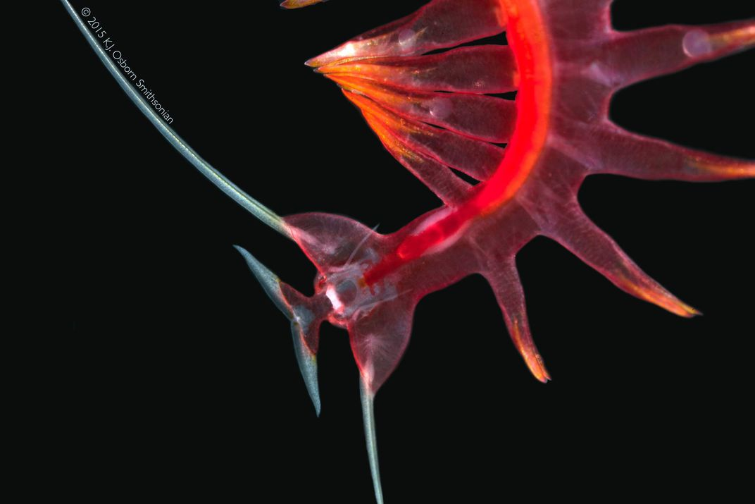 Red marine worm on a black background.