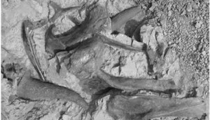 Did Juvenile Triceratops Hang Out in Gangs?