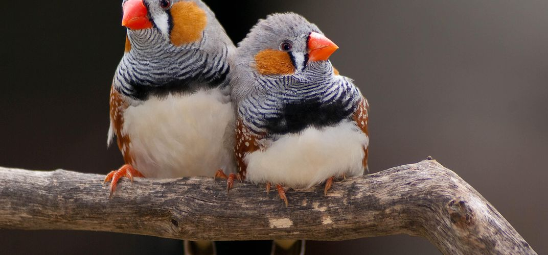 Caption: Zebra Finches Dream a Little Dream of Melody