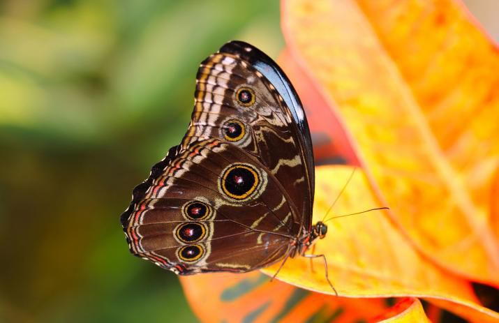 Butterfly adaptations to blend in, show off and shimmer