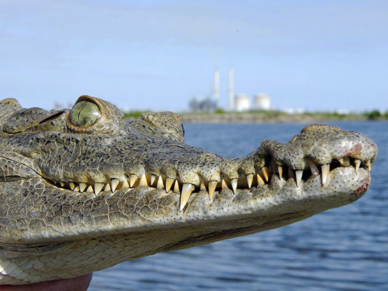 Why Florida Crocs Are Thriving Outside a Nuclear Power Plant