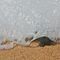 Turtle reaching the sea in a foamy wave of whiteness, you can appreciate de sharpness of the tortoise and the rapid movement of the wave of the pacific at Michoacan, Mexico