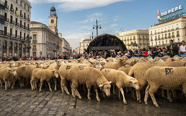 Spain's biggest city overrun by sheep