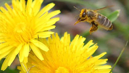 Are Diesel Exhaust Fumes to Blame for Honeybee Colony Collapse?