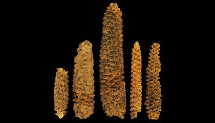 How Ancient DNA Unearths Corn's A-Maize-ing History