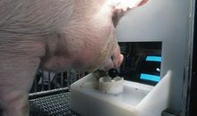 Pigs Can Learn to Play Video Games, Study Shows