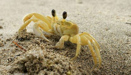 Ghost Crabs Use Teeth in Their Stomachs to Ward Off Predators
