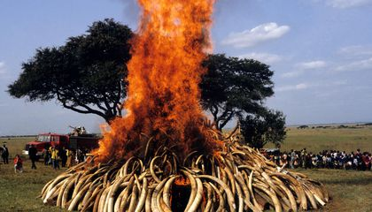 Eerie Footage of Over 100 Tons of Burning Ivory