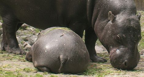 The endangered pygmy hippopotamus reproduces well in captivity