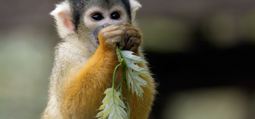 Squirrel monkey in the rain forest