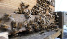 Honey Bees on Notre-Dame's Roof Survived the Fire