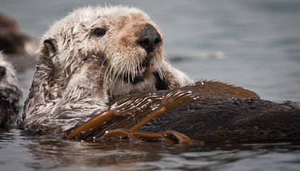 Sea Otters Can Get the Human Flu