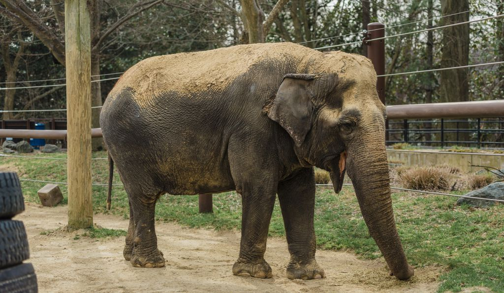 Born in India around 1948, and captured in the Coorg forest at about age 8, Ambika was used as a logging elephant until 1961. She came to the Zoo as a gift from the children of India.