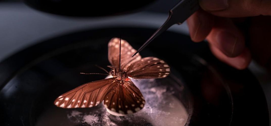 Caption: New Butterfly Named After Female Naturalist