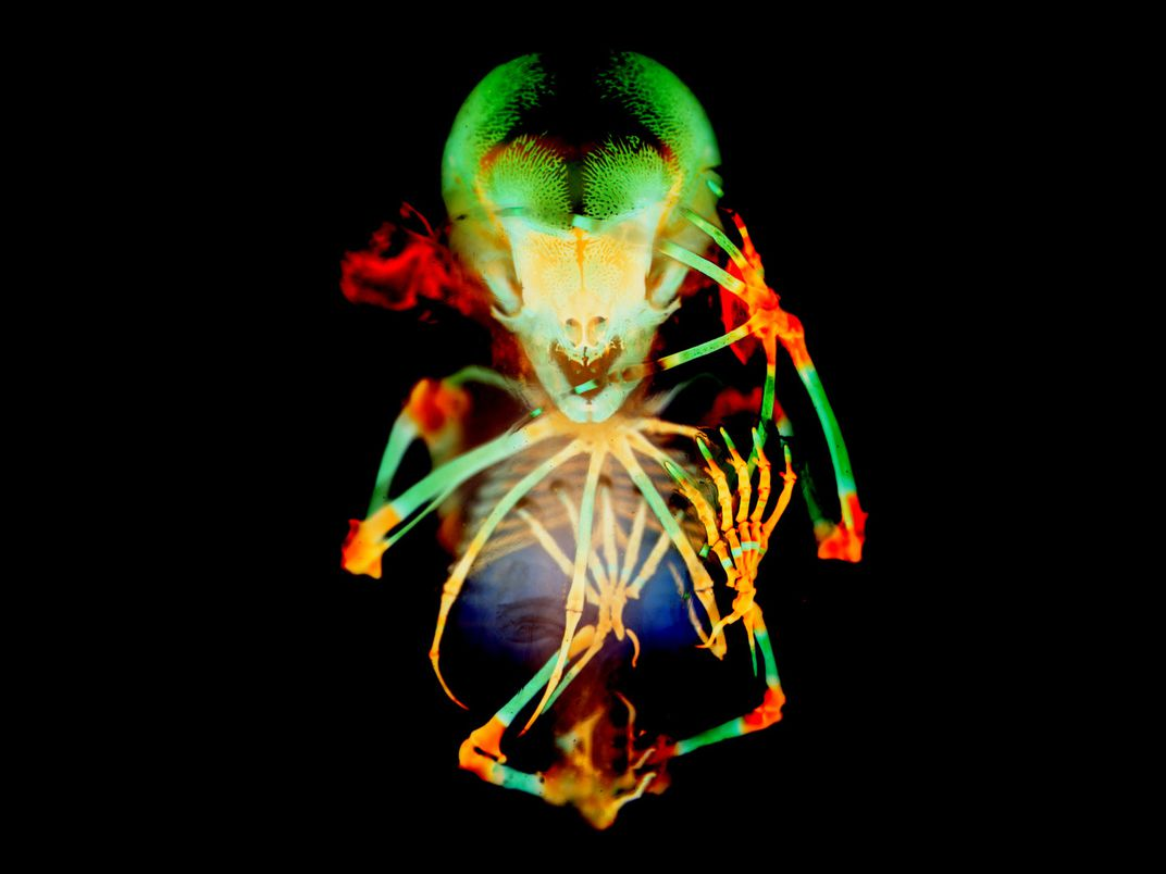 This image shows a fruit bat embryo skeleton facing toward the viewer, colored bright green and orange