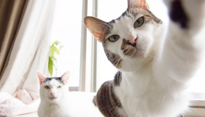 Cats Can Be Right or Left-Pawed