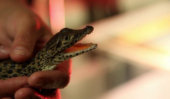 Preview thumbnail for video'Rare Baby Crocs Born at the National Zoo