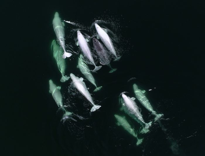 group of belugas may have adopted young narwhal smart news