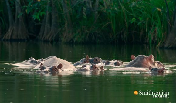 Preview thumbnail for video'Pablo Escobar's Hippos Have Created an Ecological Crisis in Colombia