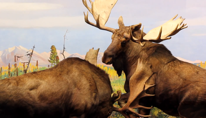 Why Do Moose Fight So Much?