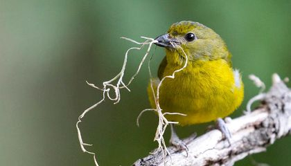 Light Pollution Is Causing Birds to Nest Earlier, Mitigating Some Effects of Climate Change
