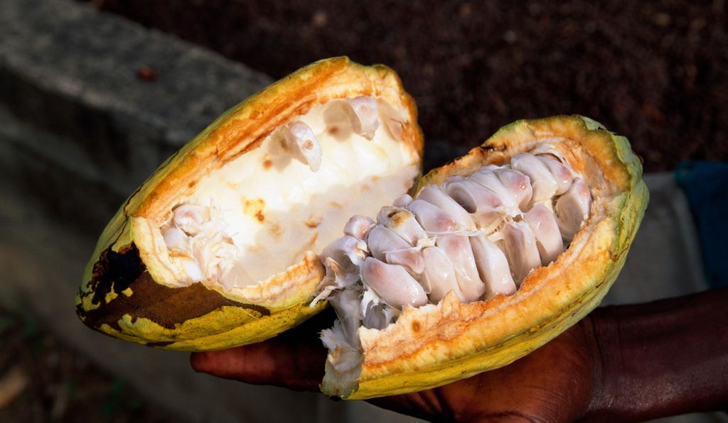 A freshly opened cacao pod is filled with mucus-like flesh—good feeding for fermenting yeasts.