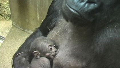 Picture of the Week—Baby Gorilla