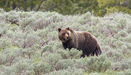 Yellowstone Grizzly to Be Removed From Endangered Species List