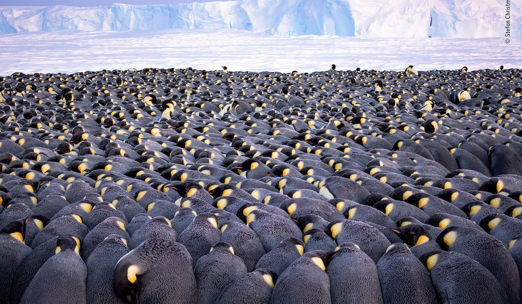 German photographer Stefan Christmann captured this image of more than 5,000 male emperor penguins huddling to protect each of their delicate eggs. To snap the shot, Christmann braved the chilly -40 degree Fahrenheit weather on the sea ice of Antarctica's Atka Bay, in front of the Ekström Ice Shelf.