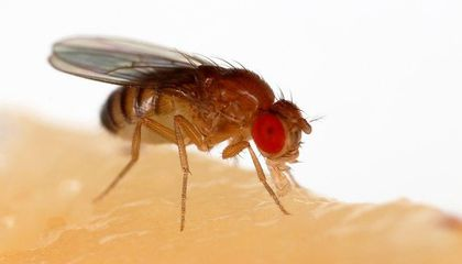 Fruit Flies First Began Feeding on Our Fresh Produce About 10,000 Years Ago