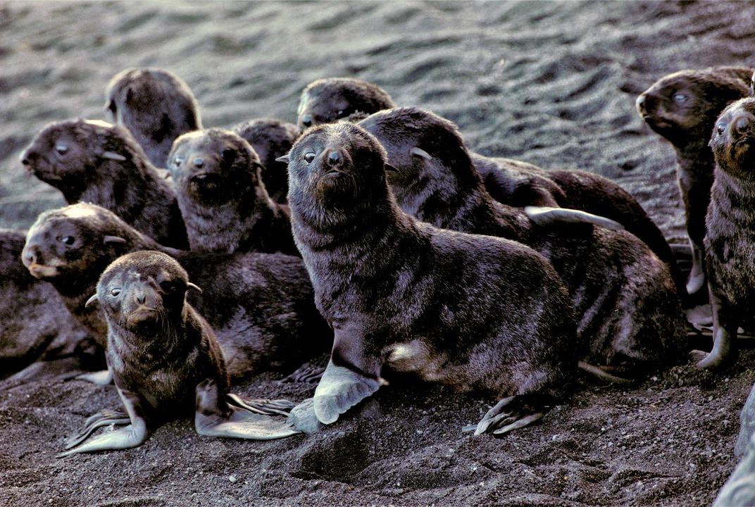 On an Active Volcano, a Northern Fur Seal Population Is Booming