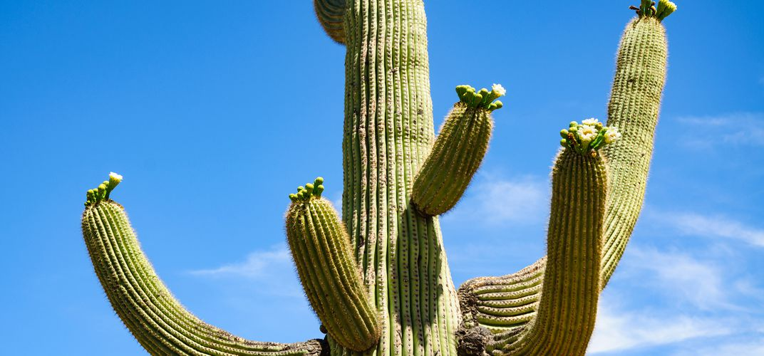 Close-up view of saguaro cactus