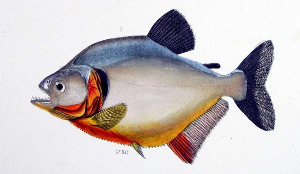 Scientists and explorers had knowledge of piranhas dating back to the 16th century, but Roosevelt's tale is largely credited with dispersing the myth. Dated 1856, this sketch by French explorer Francis de Castelnau depicts a red-bellied piranha.