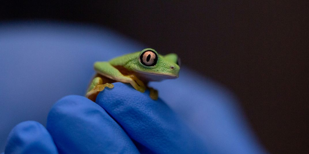 A tiny green frog with large, round eyes, called a lemur leaf frog, perches on an animal keeper's gloved hand.