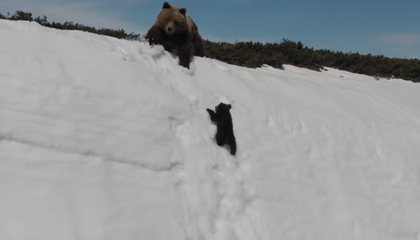 Why Experts Are Troubled by a Viral Video of a Baby Bear's Mountain Climb