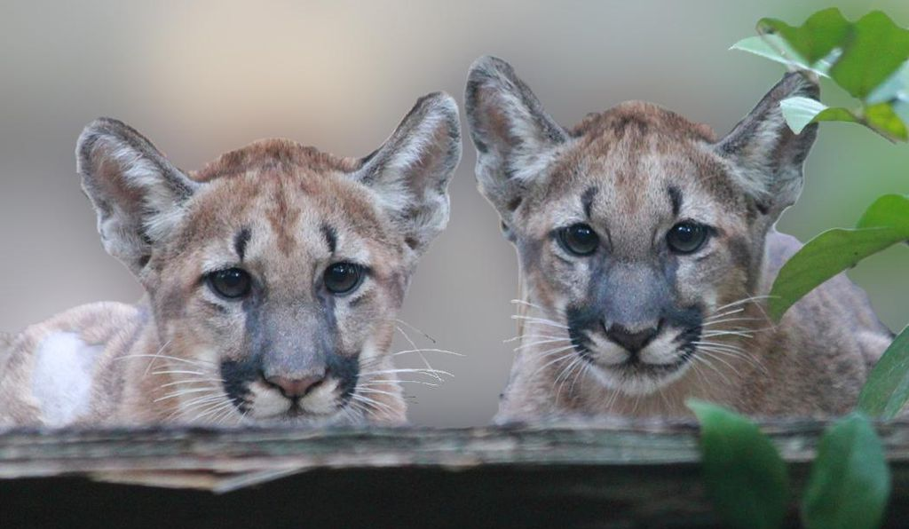 Florida panthers have become an icon of genetic rescue success.