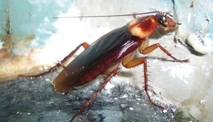 Cockroach Genome Shows Why They Are Impossible to Kill