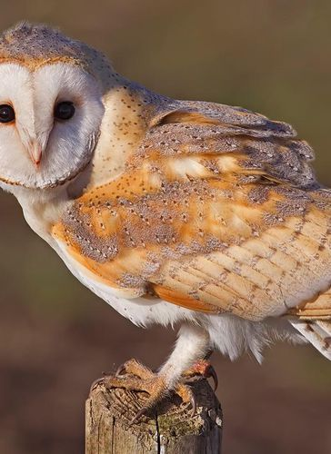 Caption: Barn Owls Do Not Suffer From Hearing Loss