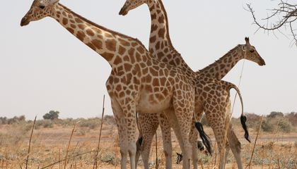 Researchers Studied Cute Pictures of Baby Giraffes to Learn About Their Spots