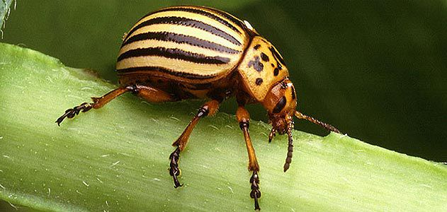 The Country's Most Dangerous Beetles   Science   Smithsonian