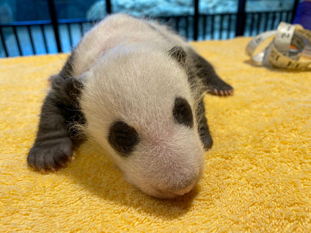 A 1-month-old giant panda cub rests on a yellow towel. A measuring tape can be seen coiled up in the background.