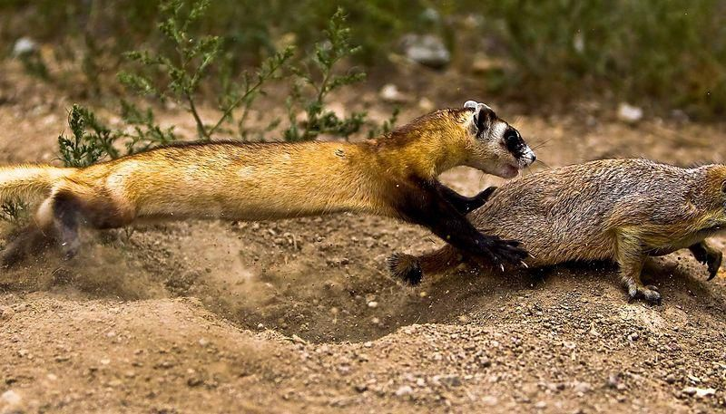Black footed ferret hunting