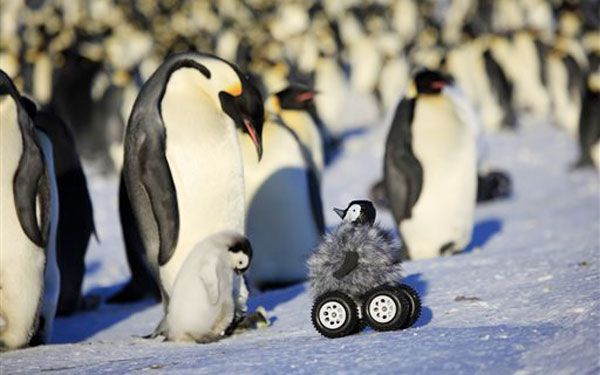 Robot spies on shy penguins