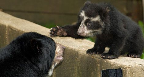 Adorable andean bear cubs