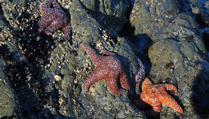 Wasting Disease Clears Way for Young Sea Stars, for Now