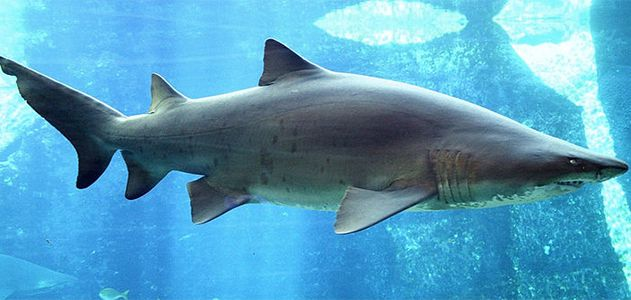 Surprising-Science-Sand-Sharks-631.jpg